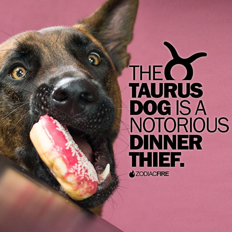 The Taurus dog is a dinner thief